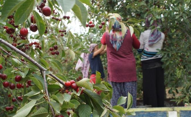 Ankara'da vişne hasadı başladı