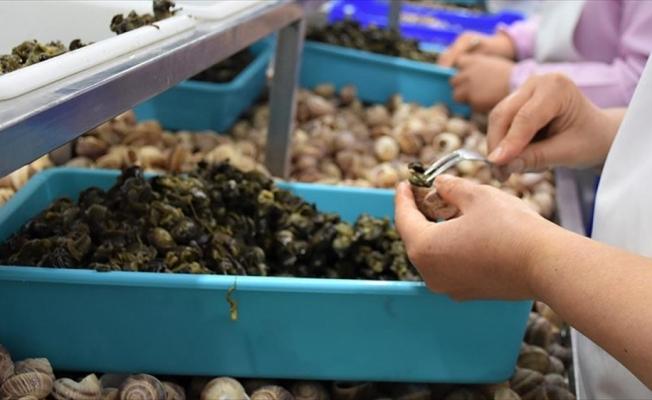 Bilecik'ten Fransa'ya 45 tır salyangoz ihracatı