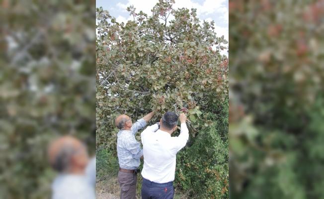 Beypazarı'nda Antep fıstığı hasadı başladı