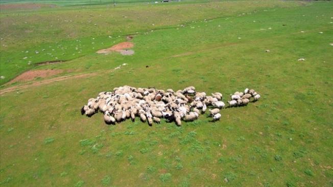 Genç Çiftçi Projesi için 4 bin baş koyun alınacak