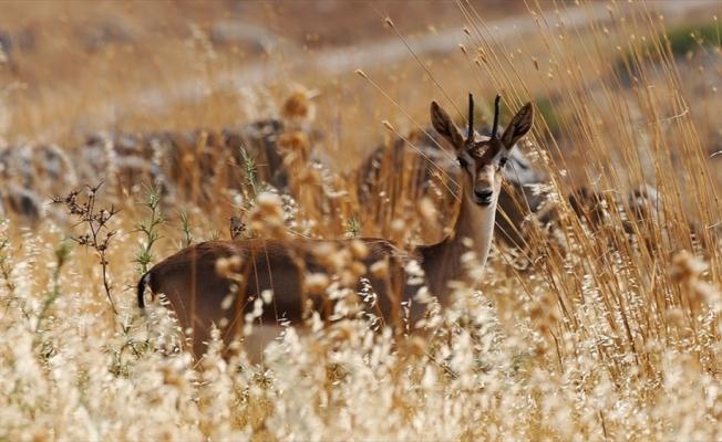 'Gazella gazella' türü dağ ceylanlarının varlığı artıyor
