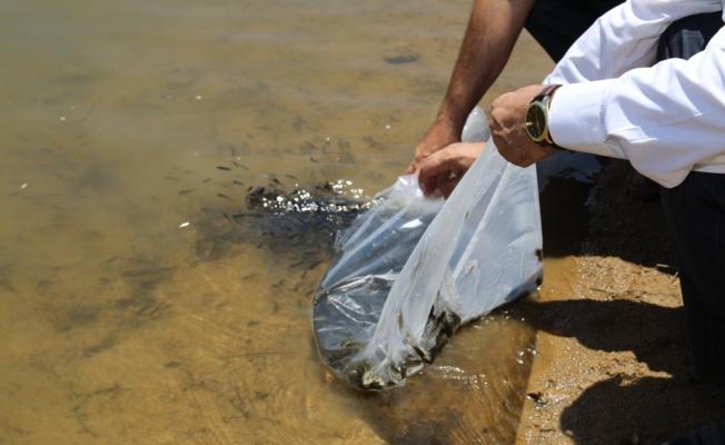 Kırıkkale'de 35 bin pullu sazan gölete bırakıldı