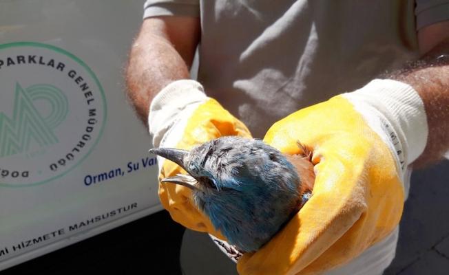 Yaralı gökkuzgun kuşu koruma altına alındı