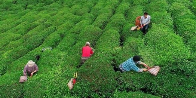 Çaykur, 830 mevsimlik işçi alacak