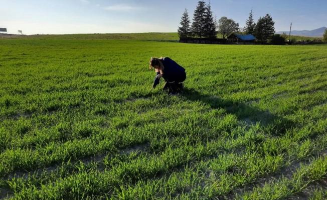 Beypazarı'nda tarlalarda ürün gelişimlerine ilişkin kontrol