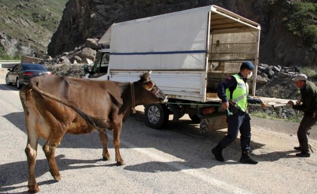 Sivas'ta 2 gün önce kaybolan ineği jandarma ekipleri buldu