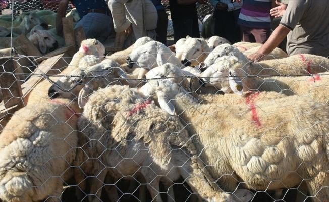 Bakan Pakdemirli satılamayan kurbanlıkları Et ve Süt Kurumunun alacağını bildirdi