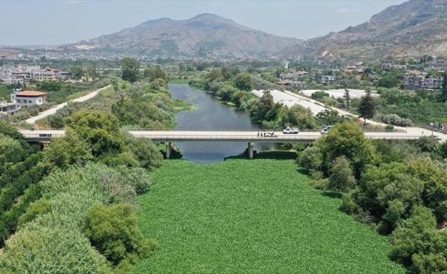 Evsel atıklar Asi Nehri'nde ekosisteme zarar veren su sümbüllerinin çoğalmasına neden oluyor