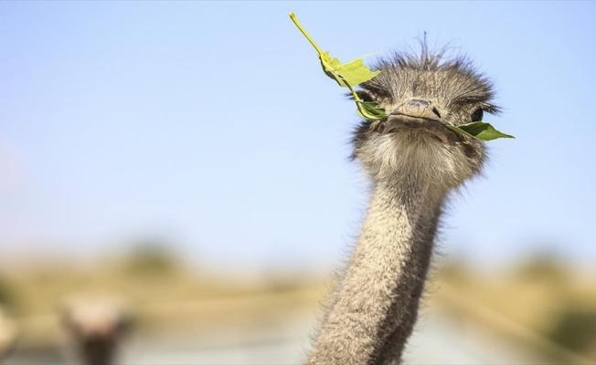 Kırşehir'deki çiftliğinde deve kuşu yetiştiren Gedikarslan taleplere yetişmekte zorlanıyor