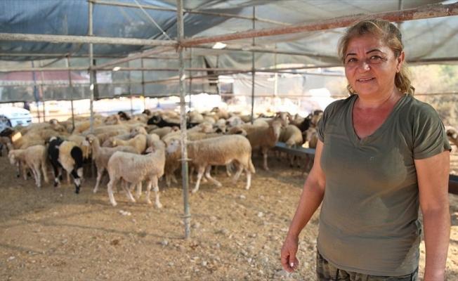 Kurban pazarının 'Hanım ağası' doğal beslediği hayvanlarına alıcı bekliyor