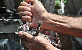 Annesiz kedi yavrularını şırıngayla besliyor