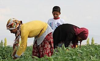 Mevsimlik tarım işçileri Konya Ovası'nda mesaide