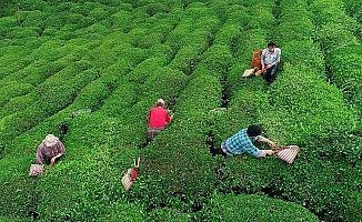 Yaş çay destekleme primi ödemeleri başladı