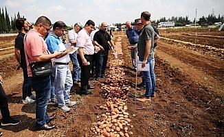 Yerli patates cinsi