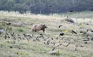 Boz ayıların yiyecek arayışı