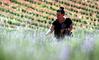 Köyüne dönen kadın mühendis lavanta yetiştiriyor