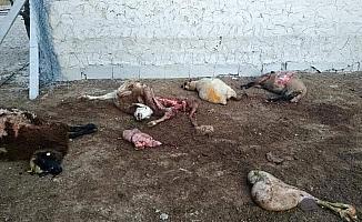 Karapınar'da kutların saldırdığı 4 koyun telef oldu
