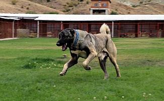 Çiftliğinde heybetli Türk çoban köpeklerini yetiştiriyor