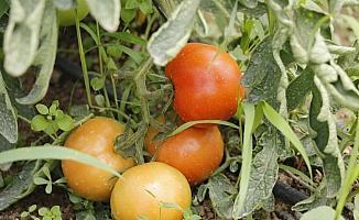 """Beypazarlı çift """"Genç Çiftçi Projesi"""" ile kurdukları serada domates üretiyor"""