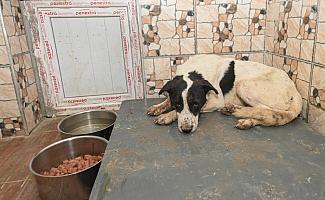 Altındağ'da yaralı köpek tedavi altına alındı