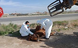 Aksaray'da otomobilin çarpmasıyla yaralanan at, hayvansever vatandaşın çabasıyla kurtarıldı
