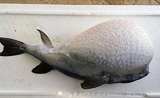 Balon balığı avcılığına yapılacak destekleme ödemesinin şartları belli oldu