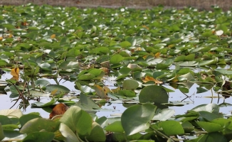 Nilüferleriyle ünlü Işıklı Gölü birçok kuş ve ender balık türüne ev sahipliği yapıyor