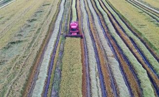 Çeltik ambarı Edirne'de hasat başladı