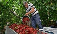 Geç hasat kirazının yüzde 90'ı ihracata gidiyor