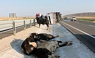 Aksaray'da büyükbaş hayvan yüklü tır devrildi: 2 yaralı
