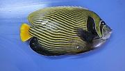 Akdeniz'de rastlanan balığa 'Fenerbahçe' adı verildi